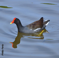 A common moorhen floats peacefully in the salt pond.