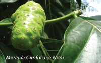 A Noni fruit on the tree