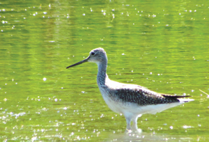 Lesser Yellowlegs have become a rare sight on Virgin Gorda
