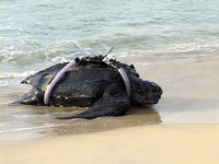 A leatherback turtle with a transmitter