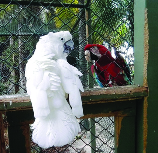 Necker Cackatoos Marley Parrot