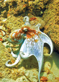 The changeable octopus