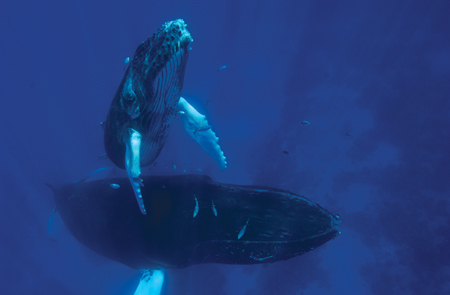 A humpback whale and her calf.