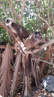 Lemurs on tree