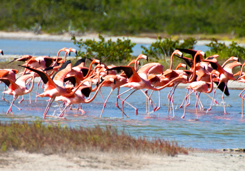 Flamingos in Anegada. Photo by Walker Magnum