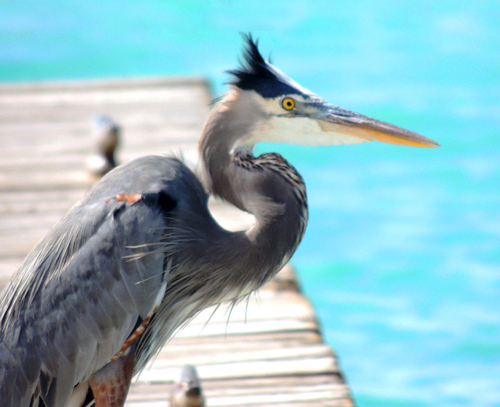 A Great Blue Heron sits on a dock. Photo by Susan Zaluski